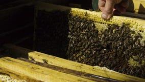 L'apicoltore elimina i favi dall'alveare al rallentatore stock footage