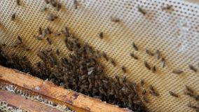 L'apicoltore estrae la struttura con miele l'apicoltore ottiene una struttura con miele stock footage