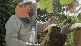L'apicoltore ispeziona i favi al ape-giardino, movimento lento stock footage