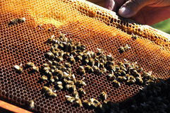 L'apicoltore mantiene il blocco per grafici con il favo Immagine Stock Libera da Diritti