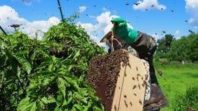 L'apicoltore raccoglie lo sciame delle api archivi video