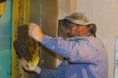 L'apicoltore raccoglie uno sciame delle api Api selvagge sistemate in fotografia stock