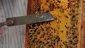L'apicoltore taglia lo zabrus stock footage