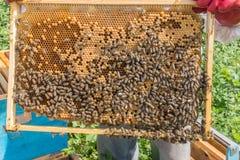 L'apicoltore tiene una struttura con le larve delle api I favi stanno sviluppando le larve della generazione futura delle api di Fotografia Stock