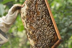 L'apiculteur inspecte un cadre avec des abeilles photo libre de droits