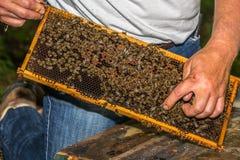 L'apiculteur montre la reine d'abeille marquée par bleu Image stock