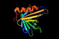 L'apolipoproteina D, una proteina pricipalmente ha prodotto nel cervello e nei tes Fotografia Stock