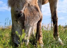 L'Appaloosa mangia l'erba Fotografie Stock Libere da Diritti
