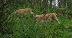 L'appareil-photo suit le lynx de deux Européens marchant dans la forêt banque de vidéos