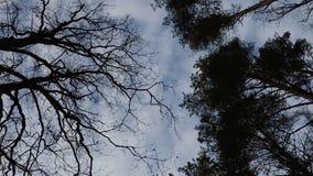 L'appareil-photo tourne et tire des arbres dans la vue de forêt de bas en haut banque de vidéos
