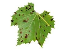 L'apparence d'isolement de feuille de vigne écorche, effet des acarides d'erineum de raisin Problème de vignoble Le dessous aimen Photo stock