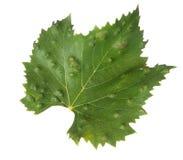 L'apparence d'isolement de feuille de vigne écorche, effet des acarides d'erineum de raisin Problème de vignoble Le dessus de la  Photographie stock libre de droits