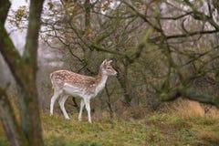 L'apparence de cerfs communs affrichés Photographie stock