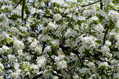 L'apple-albero sbocciante ad aprile Immagini Stock