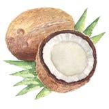 L'aquarelle de peinture d'aquarelle de noix de coco Images libres de droits