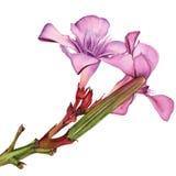 L'aquarelle fleurit l'oléandre rose Images libres de droits