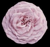 L'aquarelle a isolé la fleur rose-clair s'est levée sur le fond noir closeup Pour la conception illustration libre de droits