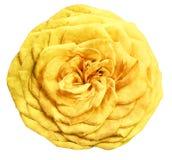 L'aquarelle a isolé la rose de jaune de fleur sur un fond blanc closeup Pour la conception illustration libre de droits