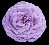 L'aquarelle a isolé la rose de pourpre de fleur sur le fond noir closeup Pour la conception illustration de vecteur