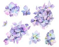 L'aquarelle a peint des fleurs d'hortensia photo stock