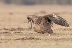 L'aquila dalla coda bianca comincia volare fotografia stock