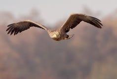 L'aquila dalla coda bianca guarda a sinistra fotografia stock libera da diritti
