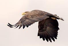 L'aquila dalla coda bianca sta andando via fotografia stock libera da diritti