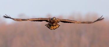 L'aquila dalla coda bianca sta volando fotografie stock libere da diritti