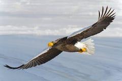 L'aquila munita bianco vola nel cielo Fotografia Stock