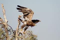 L'aquila rapace sta decollando la periferia BIKANER di Jorbeer fotografia stock libera da diritti