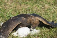 L'aquila reale e è preda sull'erba, circa Almaty, il Kazakistan Fotografia Stock