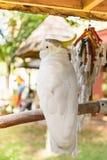 L'ara blanc sur la branche Photo libre de droits