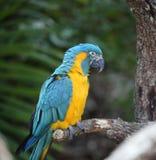 L'ara bleu-et-jaune (ararauna d'arums) Image libre de droits