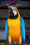 L'ara blu-e-gialla, è un grande pappagallo sudamericano con le parti superiori ed il giallo blu nell'ambito delle parti (Ararauna Immagini Stock Libere da Diritti