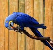 L'ara de jacinthe (perroquet bleu) ronge la branche d'arbre Photographie stock