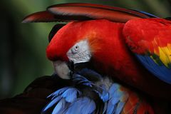 L'ara peint d'écarlate photographie stock libre de droits