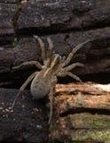 L'araignée Photo libre de droits