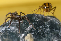 L'araignée attaque le cancrelat Image stock
