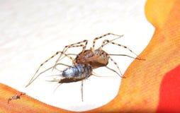 L'araignée a attrapé une proie Photos libres de droits