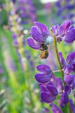 L'araignée blanche a attrapé une abeille Images stock