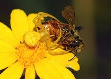 L'araignée de crabe mangent l'abeille photographie stock libre de droits