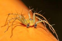 L'araignée jaune en nature chez la Thaïlande image libre de droits