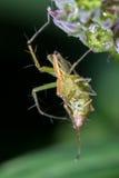 L'araignée mangent Photos libres de droits