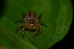 L'araignée sautante la plus mignonne Photo libre de droits