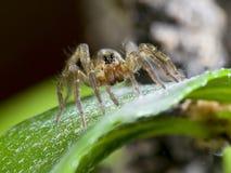 L'araignée sur une feuille Carmona Photographie stock libre de droits