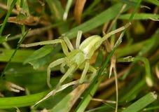L'araignée verte de chasseur Photographie stock libre de droits