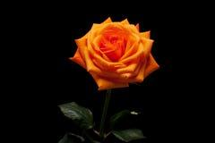 L'arancia è aumentato Fotografia Stock Libera da Diritti