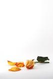 L'arancia è aumentato con il ritratto dei petali immagine stock