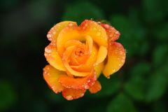 L'arancia è aumentato nel giardino fotografia stock libera da diritti