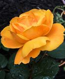 L'arancia è aumentato primo piano sparato con le goccioline dell'acqua piovana immagini stock